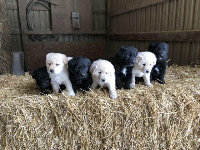 German Shepard/Golden Retriever Puppies