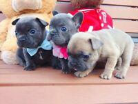 Lilac & Blue French Bulldog Puppies