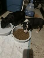 3male Bull terrier puppies left for sale call 226-237-4172