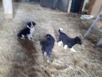 BORDER COLLIE / BLACK LAB / AUSTRALIAN SHEPHERD - 4 PUPS READY ,