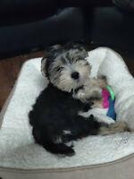 Beautiful Male Morkie Puppy