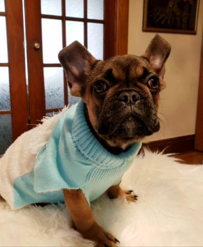 French bulldog (boy)