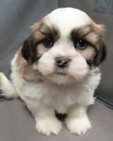 SHIH-TZU PUPPIES WITH IMPERIAL MARKINGS