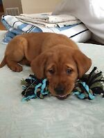 CKC PARENTS DARK FOX RED LAB GOLDEN READY JAN. 19