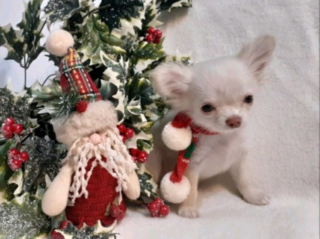 ABSULITLY  BEAUTIFUL  LC TEA CUP CREAM & WHITE CHIHUAHUA PUPPIE