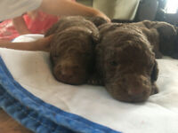 Chesapeake Bay Retriever/Standard Poodle Mix Puppies