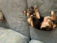 German Shepherd/ husky puppies
