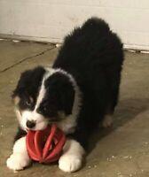 CKC Registered Australian Shepherd puppies