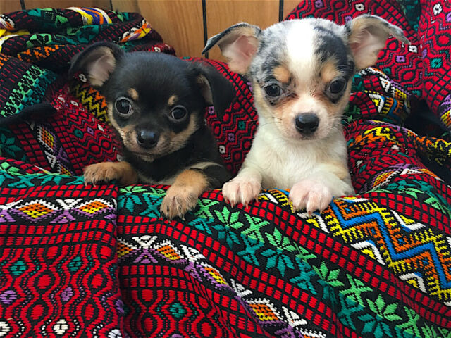 Chihuahua puppies beautiful short coat boys