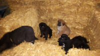 St Bernard lab cross puppies for sale