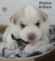 Registered Purebred Huskies