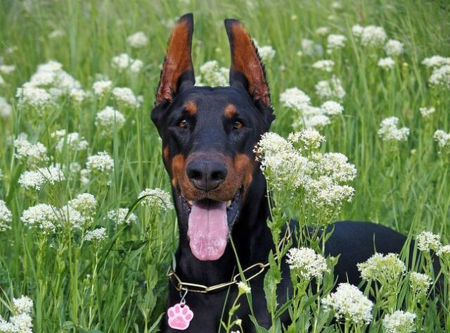 Wanted:                             Wanted: Free Doberman Dog