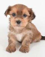 *** TEDDY BEAR MORKIE PUPPIES *** 4 BOYS & 2 GIRLS *** READY NOW