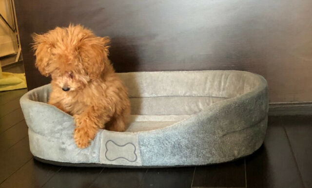 Toy Poodle In City Of Torontoontario