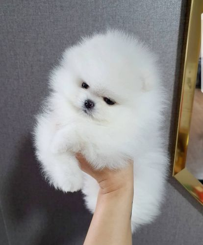 Solid White Teacup Pomeranian Puppies Available Now