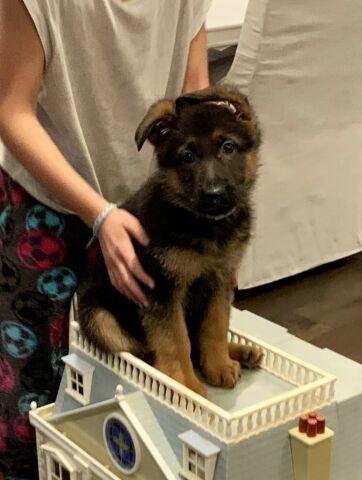 Purebred German Shepherd Puppies CKC reg'd