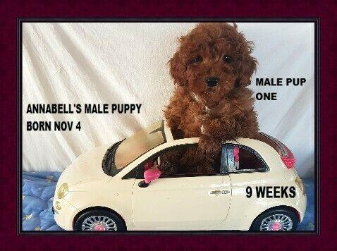 CKC Registered Toy Poodle pups