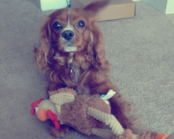 Please contact, 8 year old boy Cavalier King Charles Spaniel