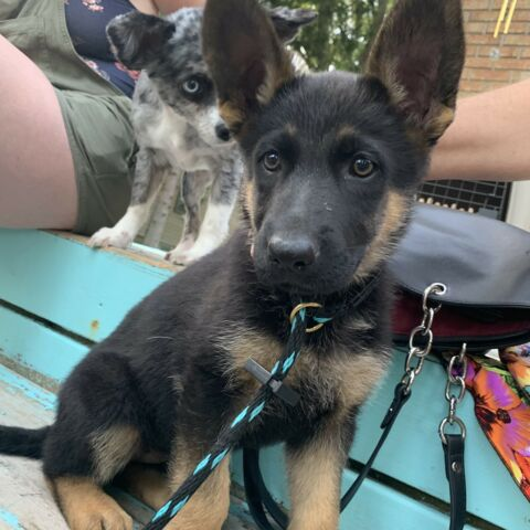 Fully trained, 6 Month Female German Shepherd