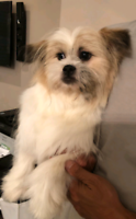 One year old Shih Tuz Mixed Dog Looking For a New Home!