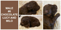 LABRADOODLES HAVE ARRIVED in Chocolates, Creams & Apricot!