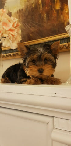 Yorkshire Terrier (Yorkie) Puppies for Sale