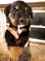 Australian Shepherd Mix Pups