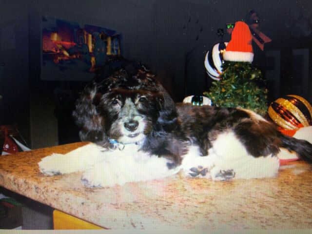 Shihpoo male looking for a Forever Family.
