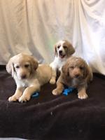 Unique Labradoodle Puppies