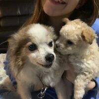 Puppy - Papillon and Yorkie Poo