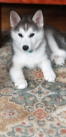 100% Pure Siberian Husky