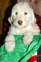 ++LABRADOODLE+F1+ADORABLE PUPPIES WANTING THEIR FUREVER HOMES++