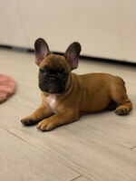 French bulldog puppies. Red and white fawn. Bouledogue Francais