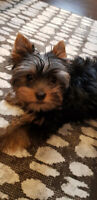 Fabulous Purebred Yorkie Puppies for sale