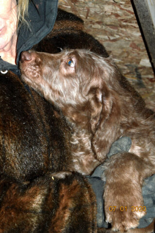 +++LABRADOODLE+F1B+ALLERGY FRIENDLY,READY & REDUCED+++