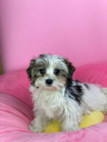 Tiny Morkie puppies for sale