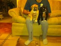 Gorgeous Bandogge mastiff puppies