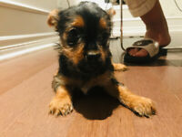 Pure breed Yorkshire Terrier male and female puppies ONLY 3 LEFT