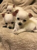 Precious Angels Pure bred Apple head Chihuahuas available 2f 3 m