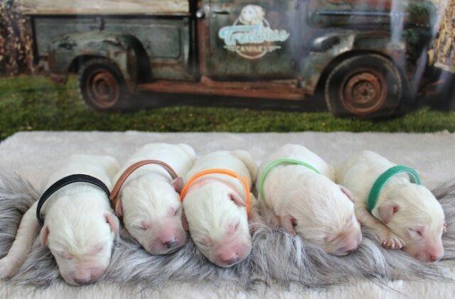White English Labrador retriever puppies
