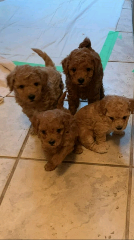 Double coated teddy bear faced toy poodle puppies