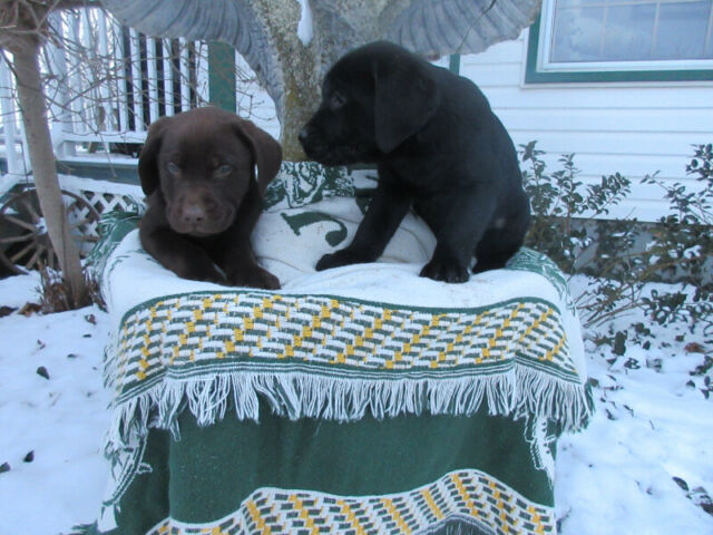 ADORABLE CHOCOLATE AND  BLACK LAB PUPPIES
