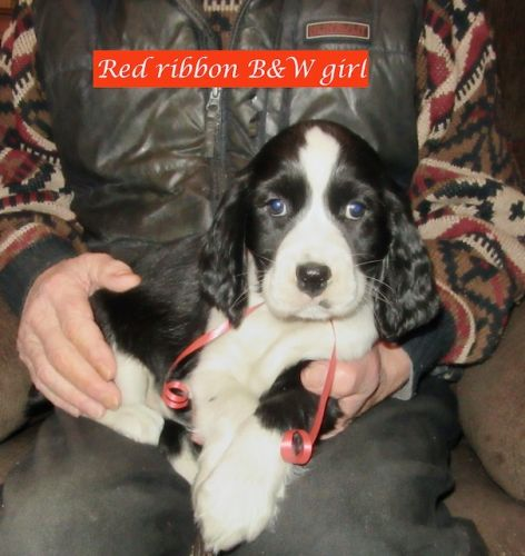 ENGLISH SPRINGER SPANIEL PUPPIES, CKC REG. SPAYED&NEUTERED, READY NOW