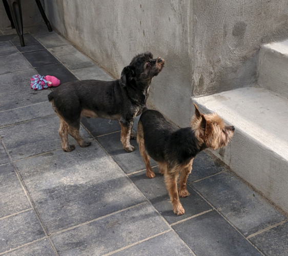 Wanted: Recently Re-homed Yorkie & Yorkie Poo