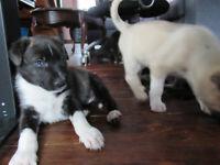 Siberian Husky German Shepherd Mix Pups