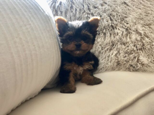 ❤️Tiny Toy & Teacup Yorkshire Terrier Puppies❤️