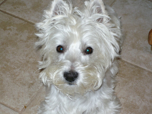 Wanted:                             WESTIE RESCUE-we can find a home for your Westie/westie mix