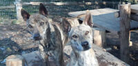 Ridgeback Puppies (Tiger Brindle Vietnamese Ridgeback)