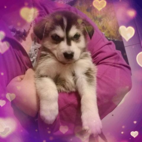 Husky Shepherd pups