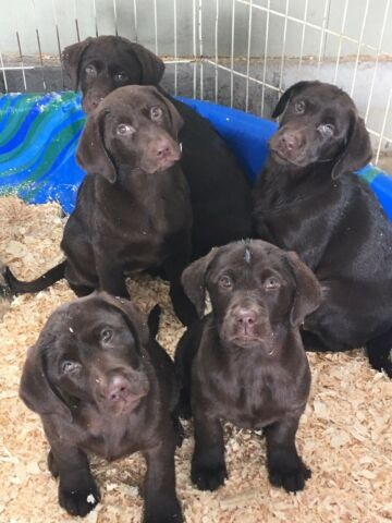 Adorable Chocolate Lab Pups